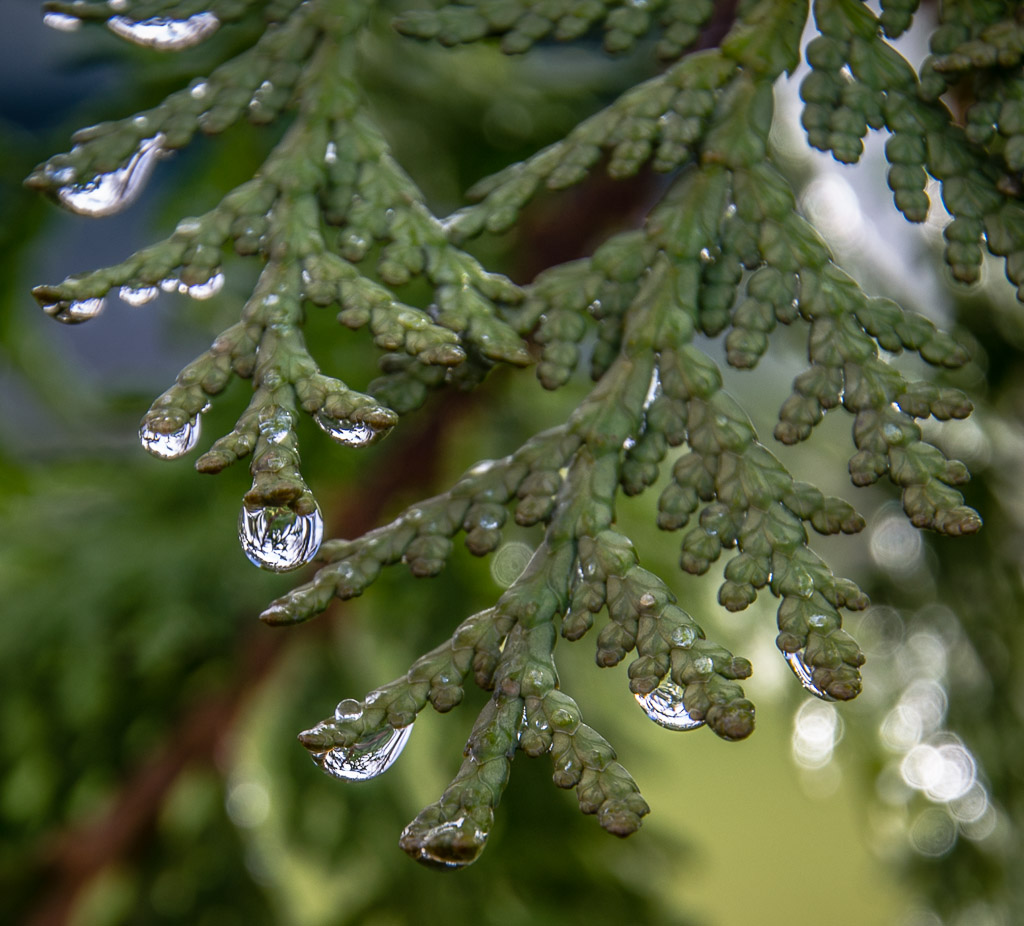 Cedar After Rain in Siletz